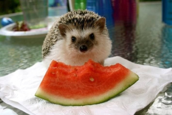 A hedgehog eating a slice of watermelon