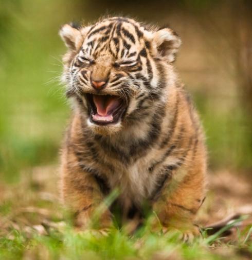 Roaring tiger kitten.