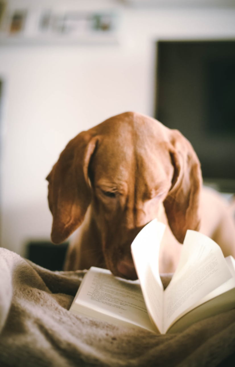 Dachsund dog with its nose in an open book.