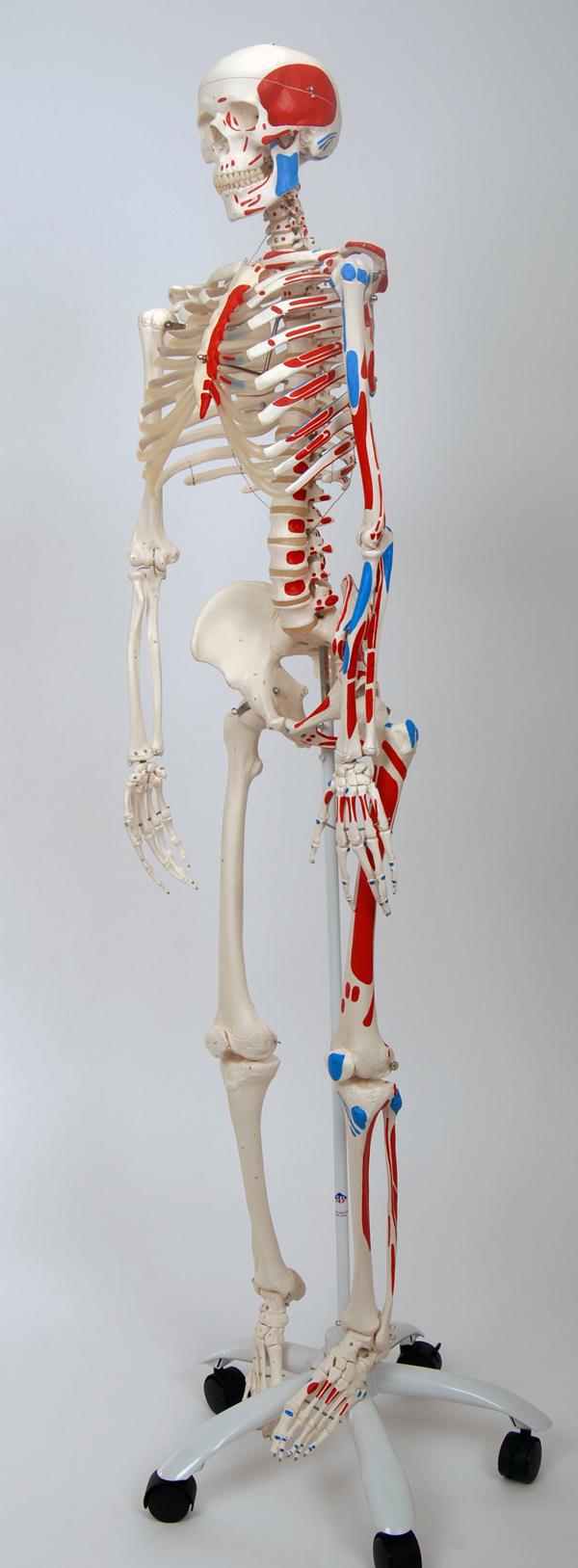 Full Skeleton