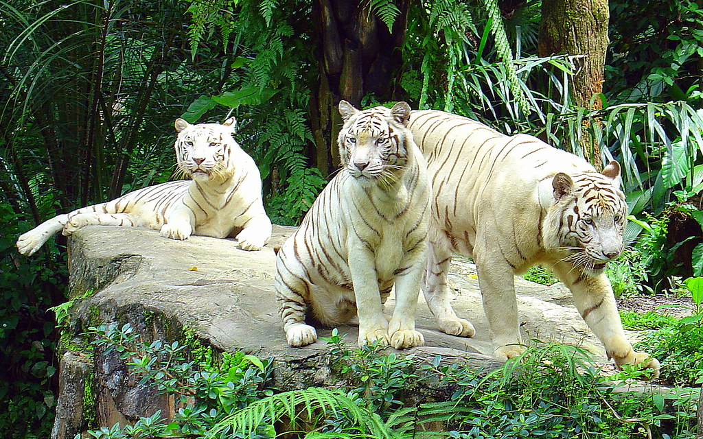 White Tigers at a Zoo