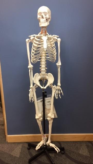 Full skeleton on wheels