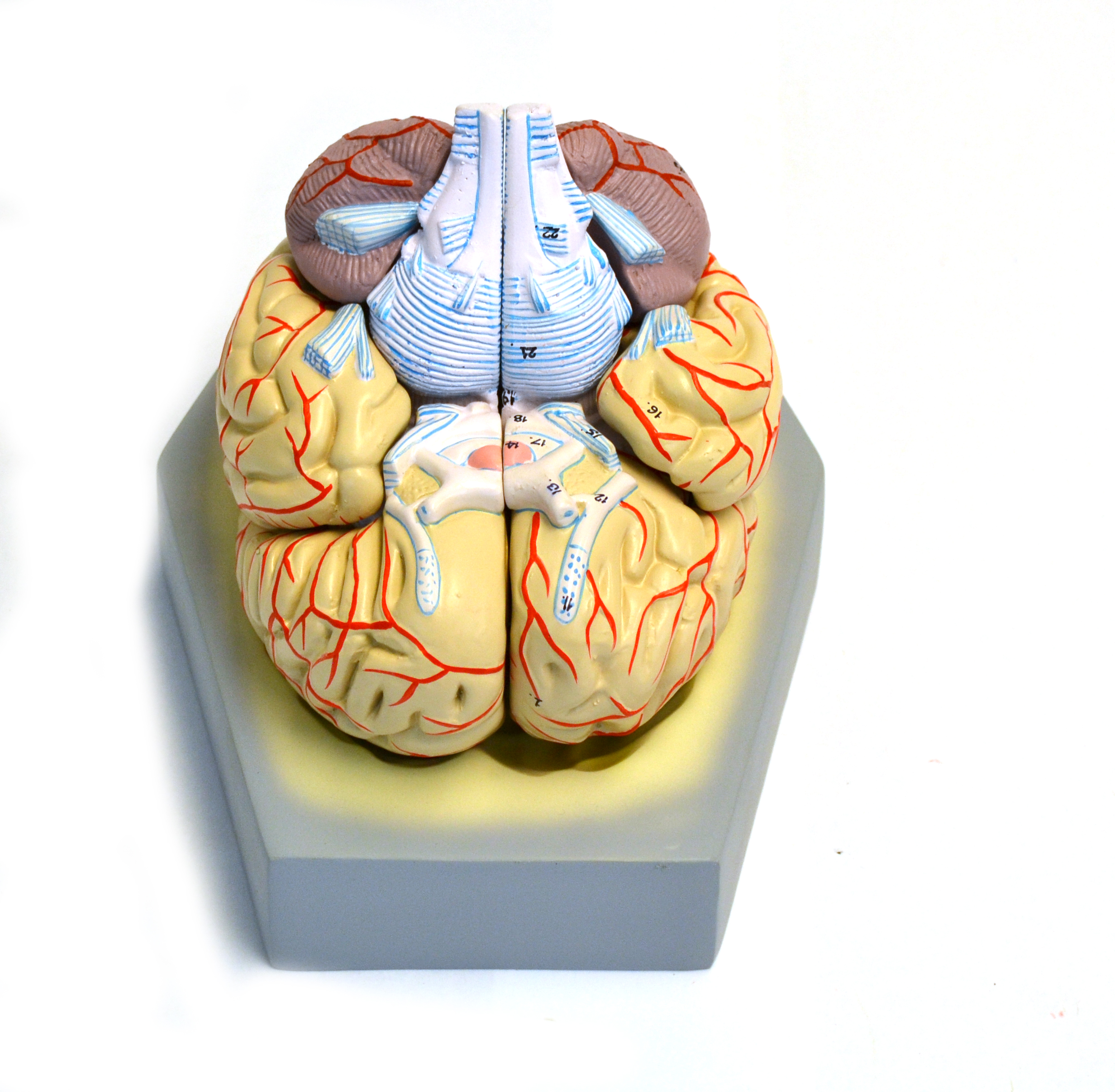 Brain model on blue stand
