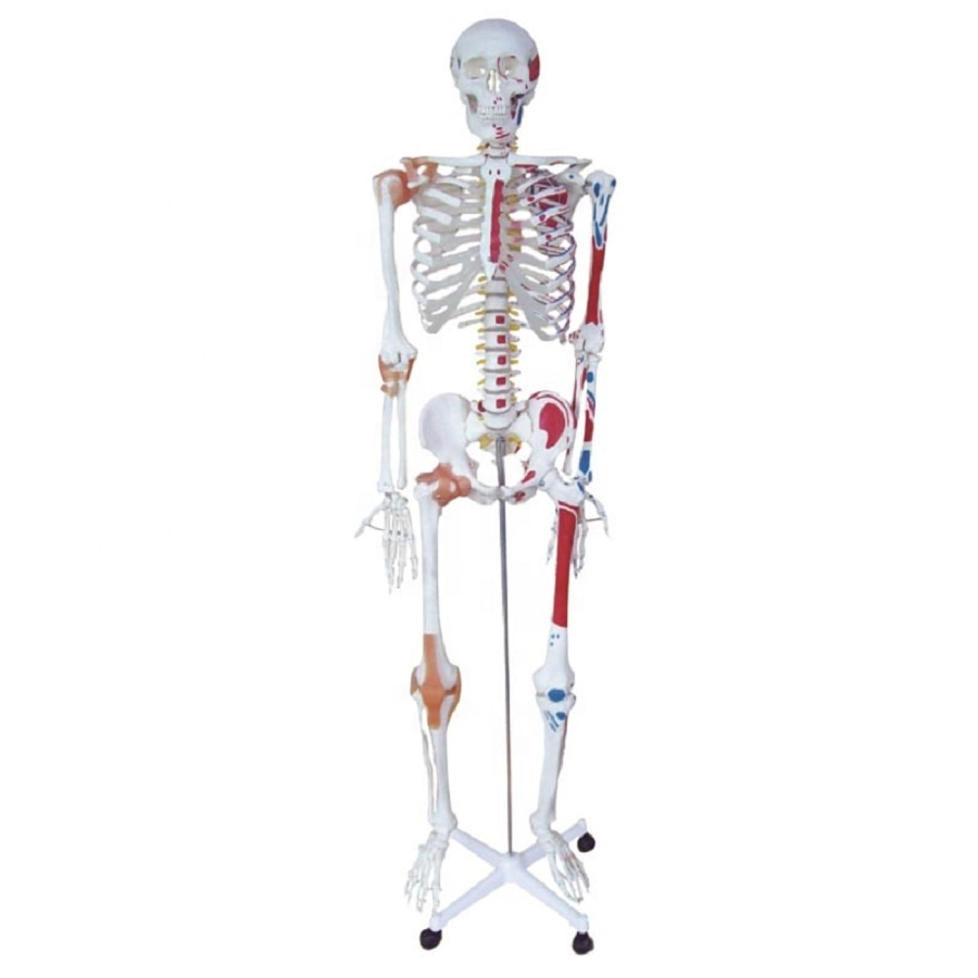 life size skeleton mounted with muscles & ligament