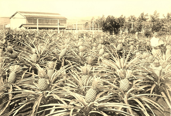 image of pineapple field in hawaii