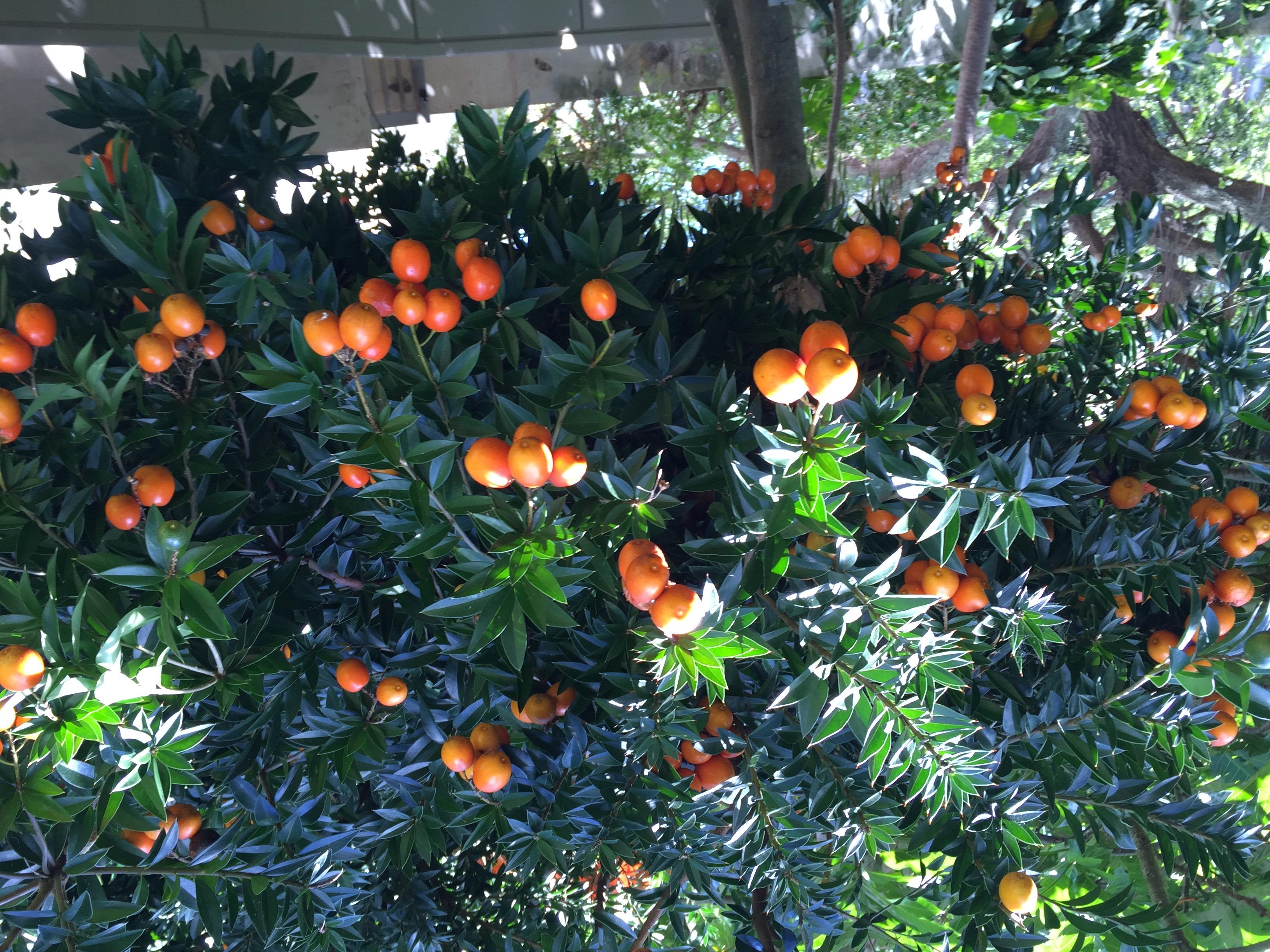 Tangerine tree image, Honolulu, HI