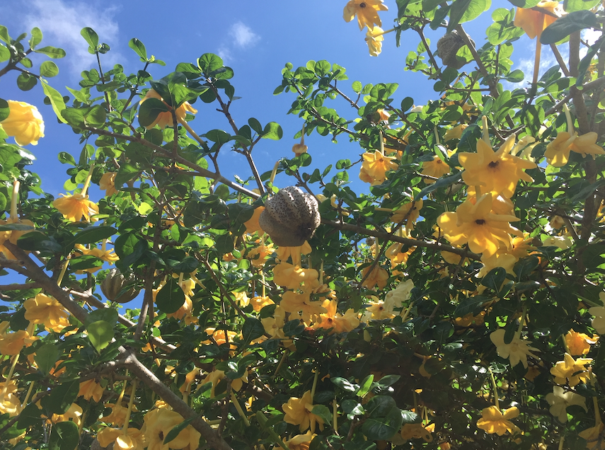 Hawaii landscaping plant