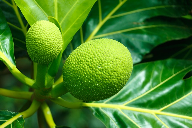 Image of a breadfruit tree.