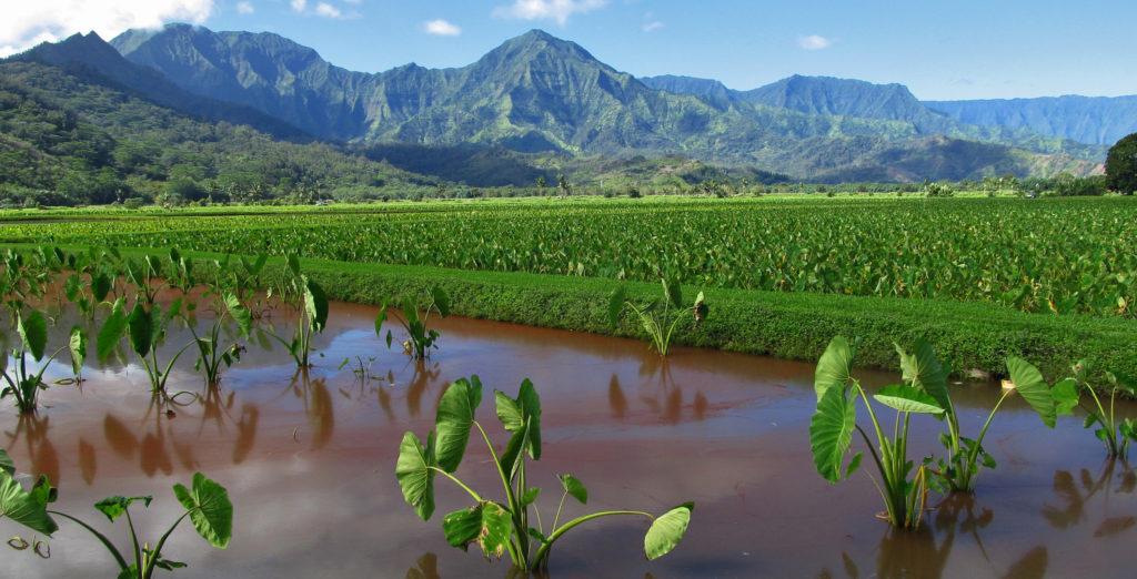 Taro Field -Kauai, Hawaii