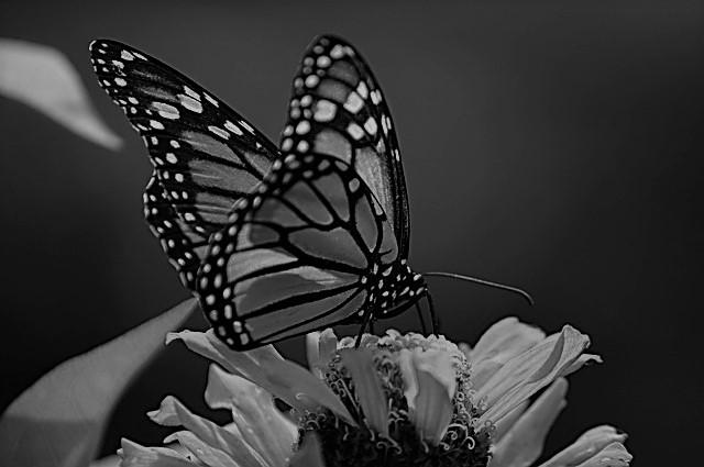 Mariposas Monarcas (Monarch Butterflies)