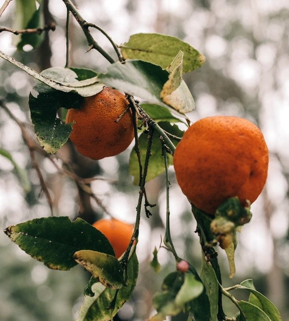 branch of tree with oranges