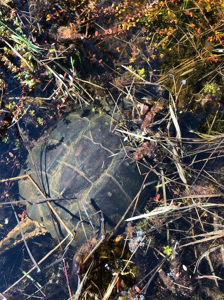 Snapping Turtle in the brush