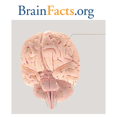 BrainFacts.org: 3D Brain