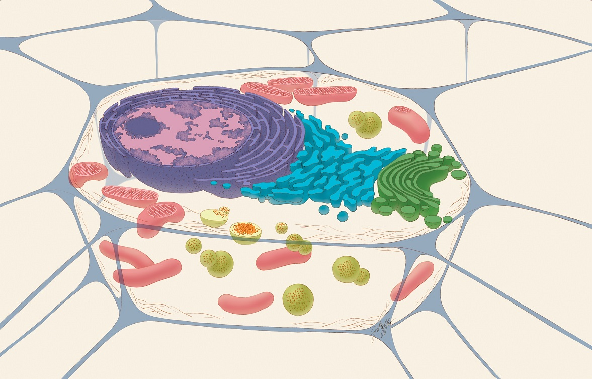 Illustration on an animal cell