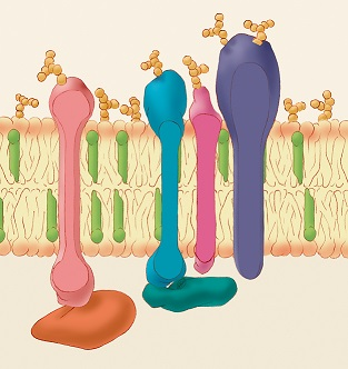 Illustration of a cell membrane