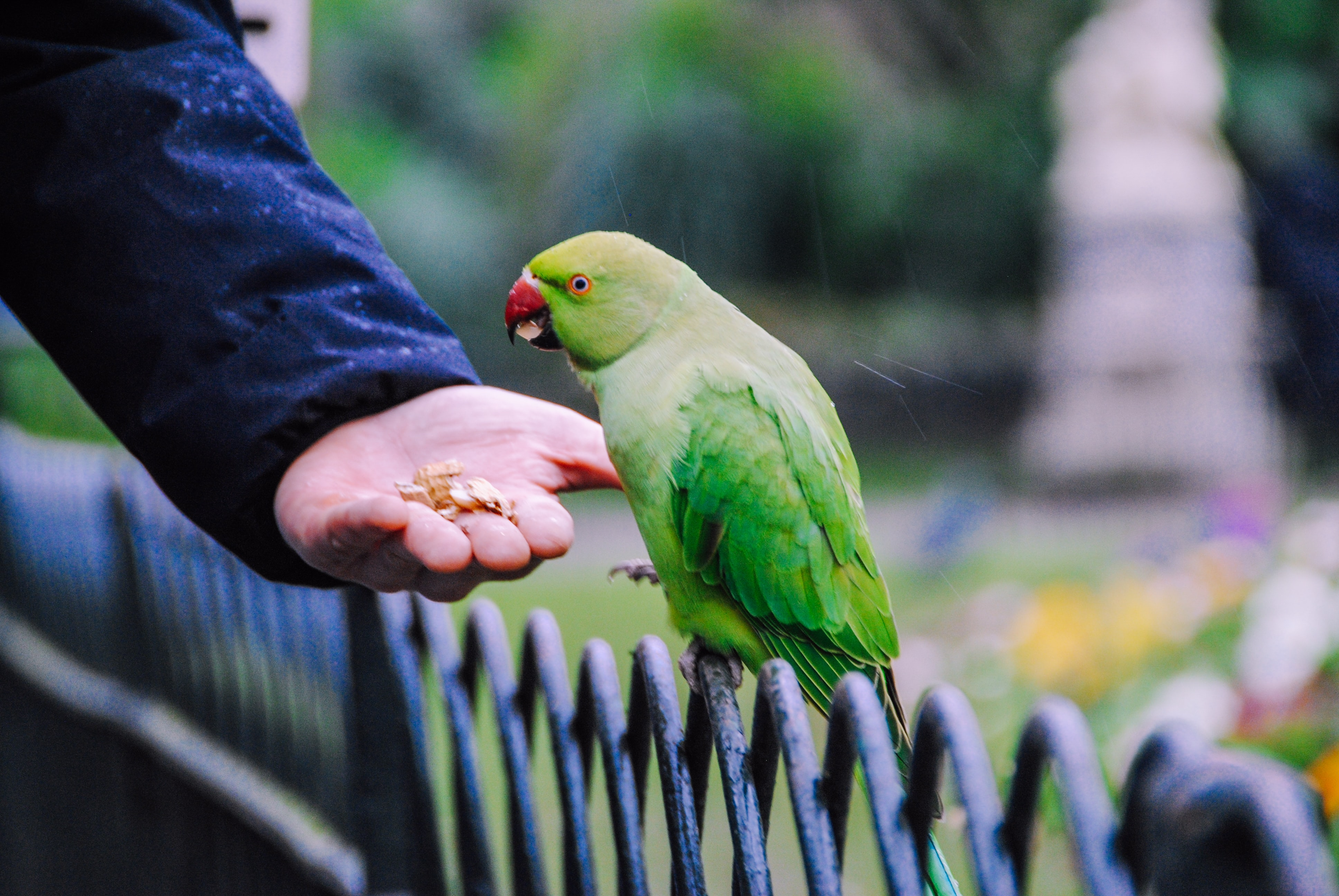Green bird perched on a fence, eating food out of a person's hand