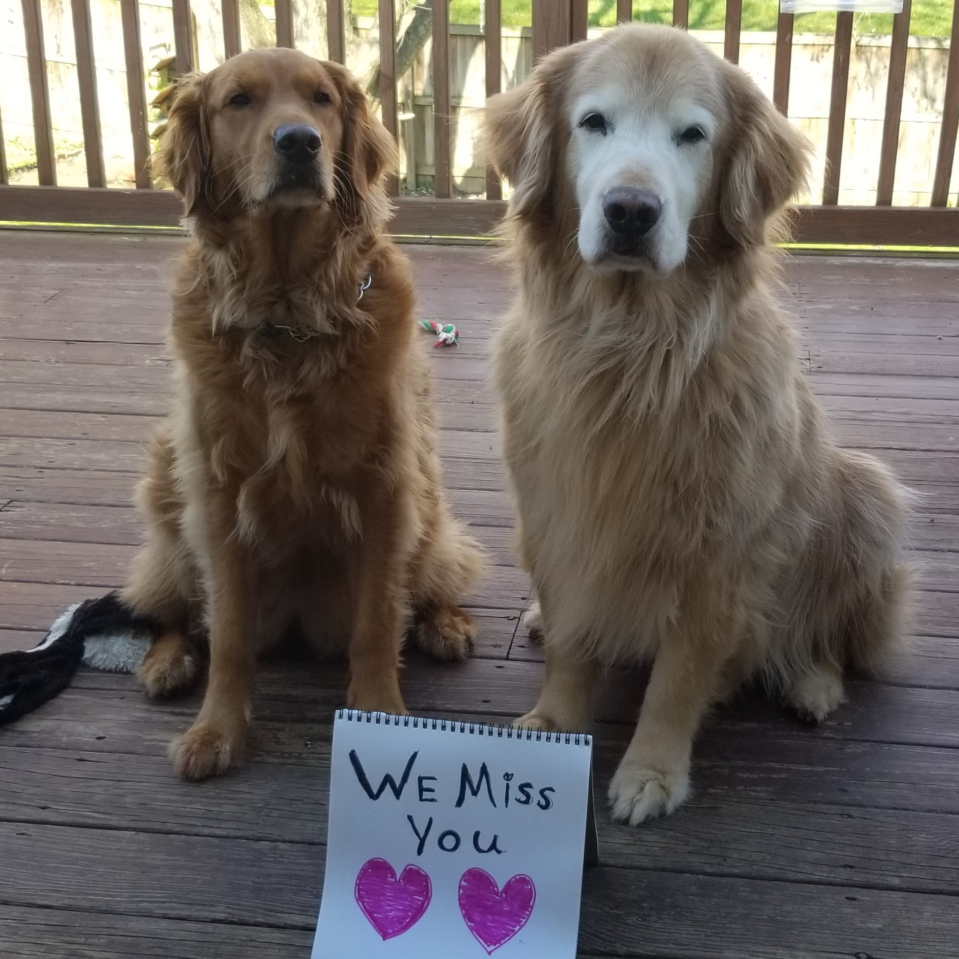 Goldie and Ellie Mae, golden retrievers