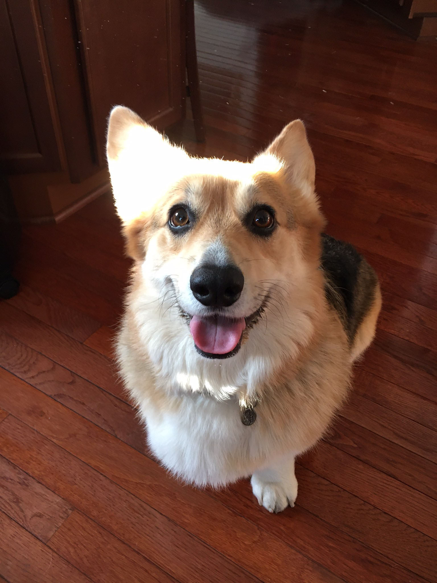 Wellington, corgi