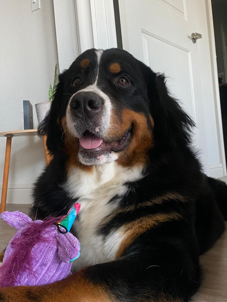 Zelda, Bernese mountain dog