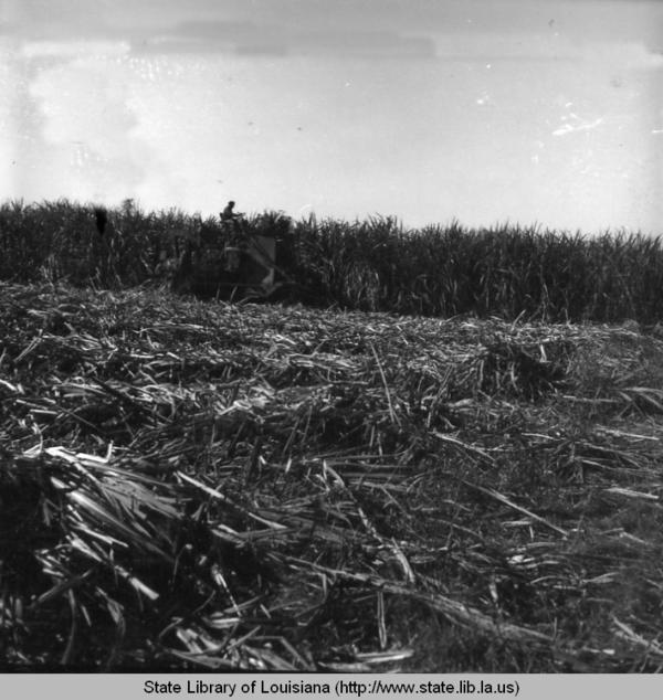 Sugar cane field during harvest near New Orleans, La. (Louisiana Digital Library)