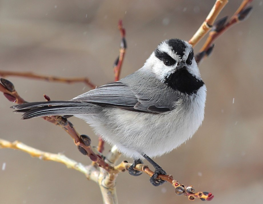 Image of a Mountain Chickadee, by Shawn Billerman