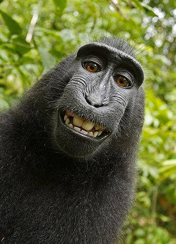 Self-portrait of a female Macaca nigra (Celebes crested macaque) in North Sulawesi, Indonesia, who had picked up photographer David Slater's camera and photographed herself with it.