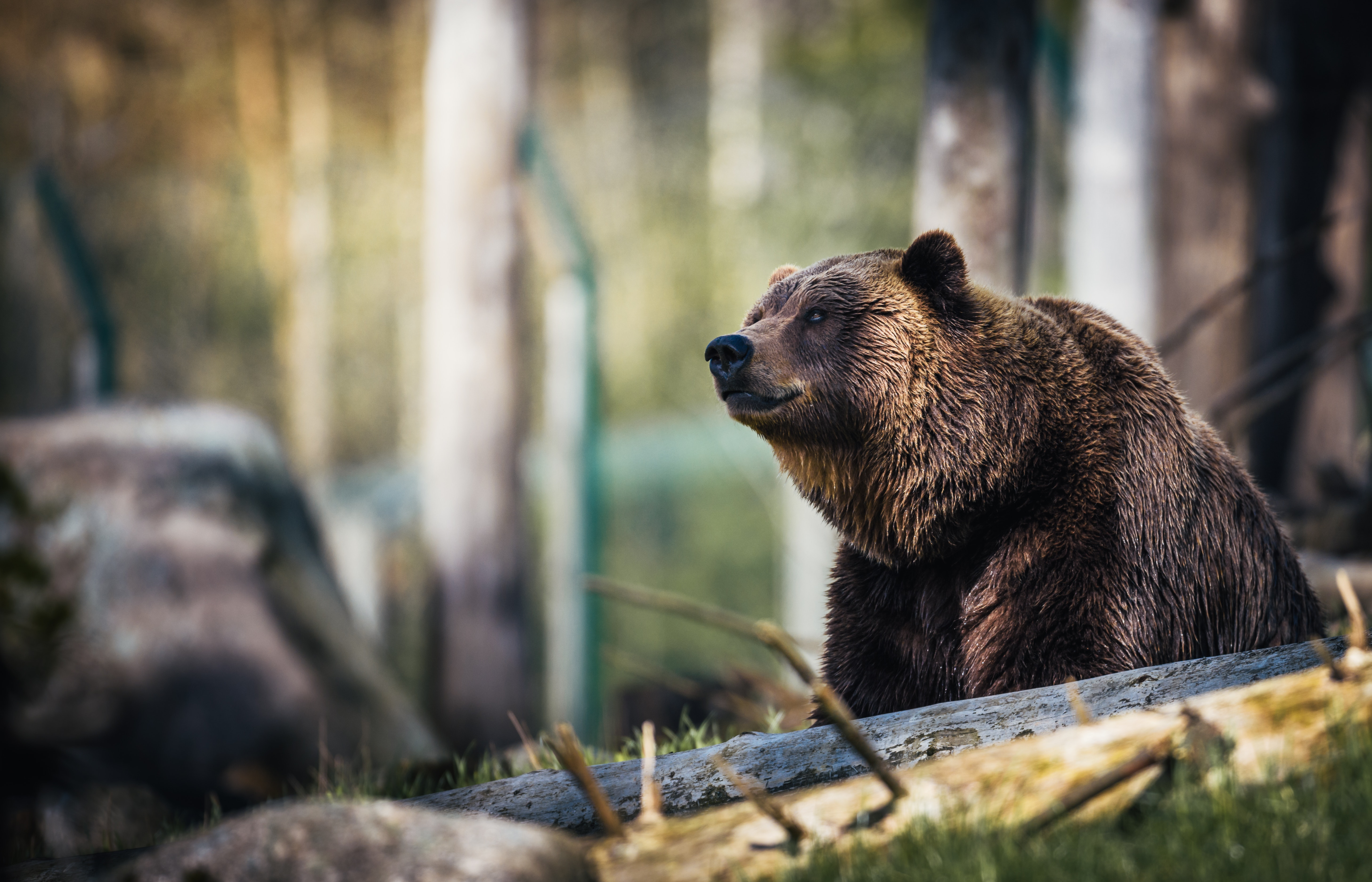 grizzly bear in woods