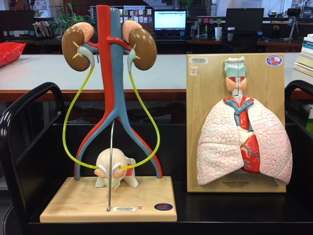 Urinary System and Cardiopulmonary System