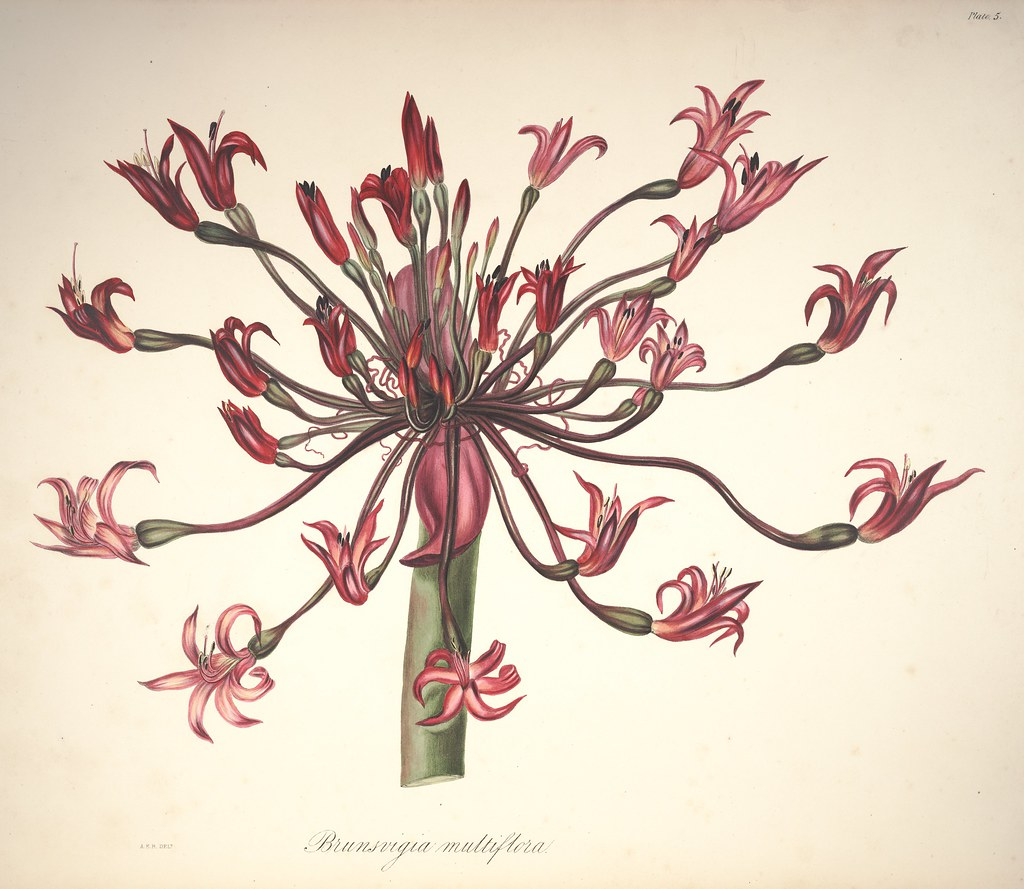 picture of Candelabra flower. Native to South Africa