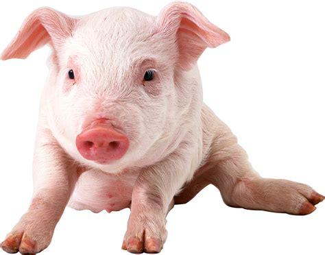 Imbalanced dietary methionine-to-sulfur amino acid ratio can affect amino acid profiles, antioxidant capacity, and intestinal morphology of piglets