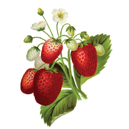 Effect of Silicon on Growth and Development of Strawberry under Water Deficit Conditions
