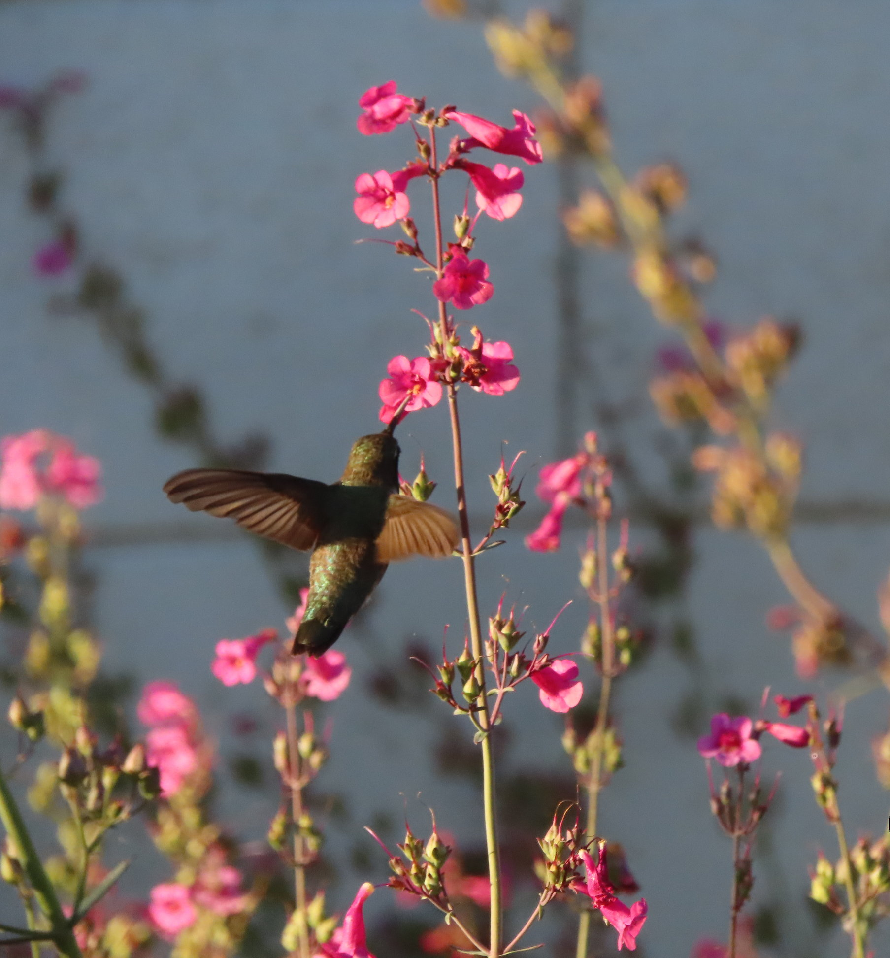 Hummingbird nectaring at a Parry's penstemon plant