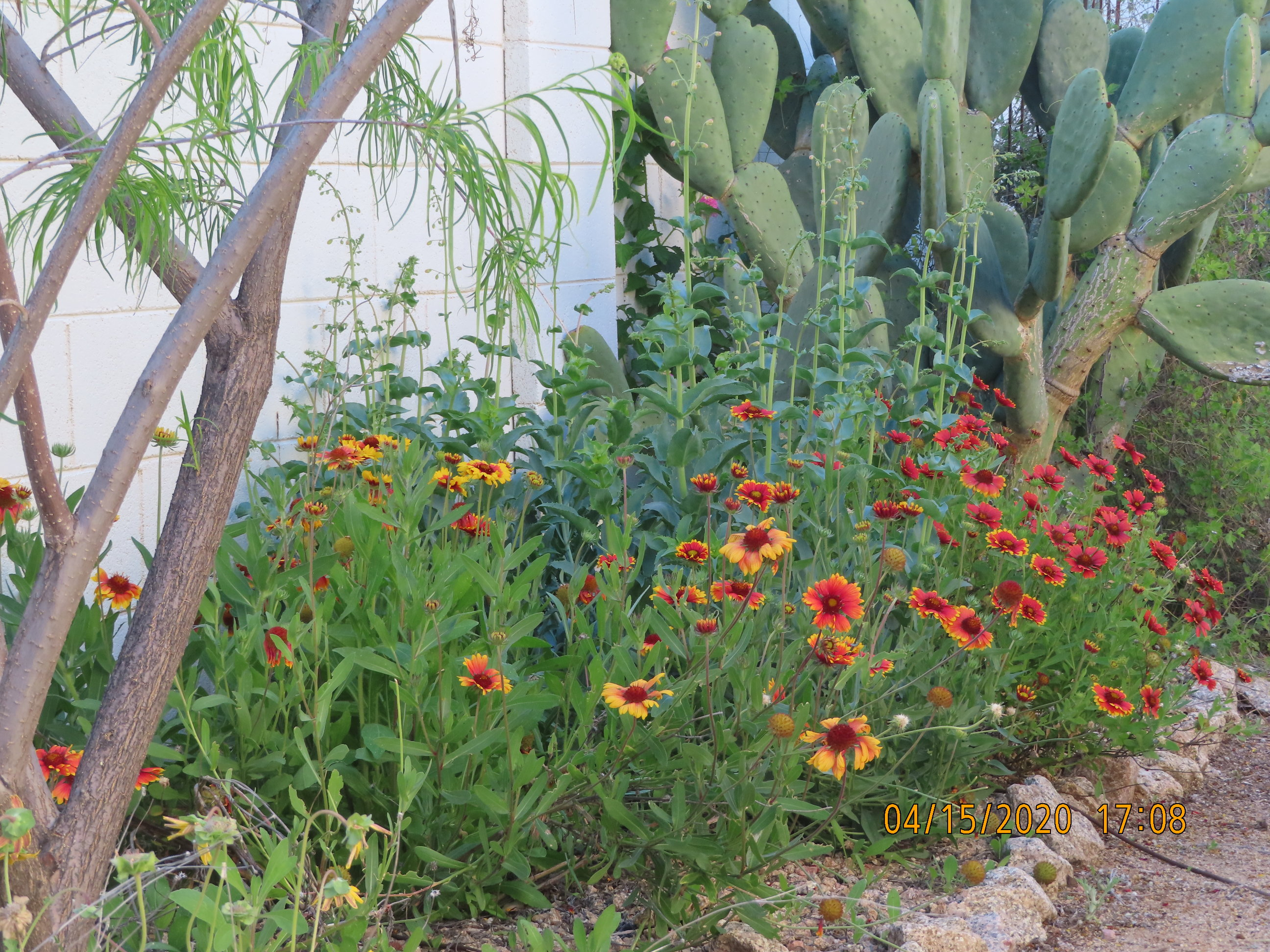 Picture of Blanket flower plant