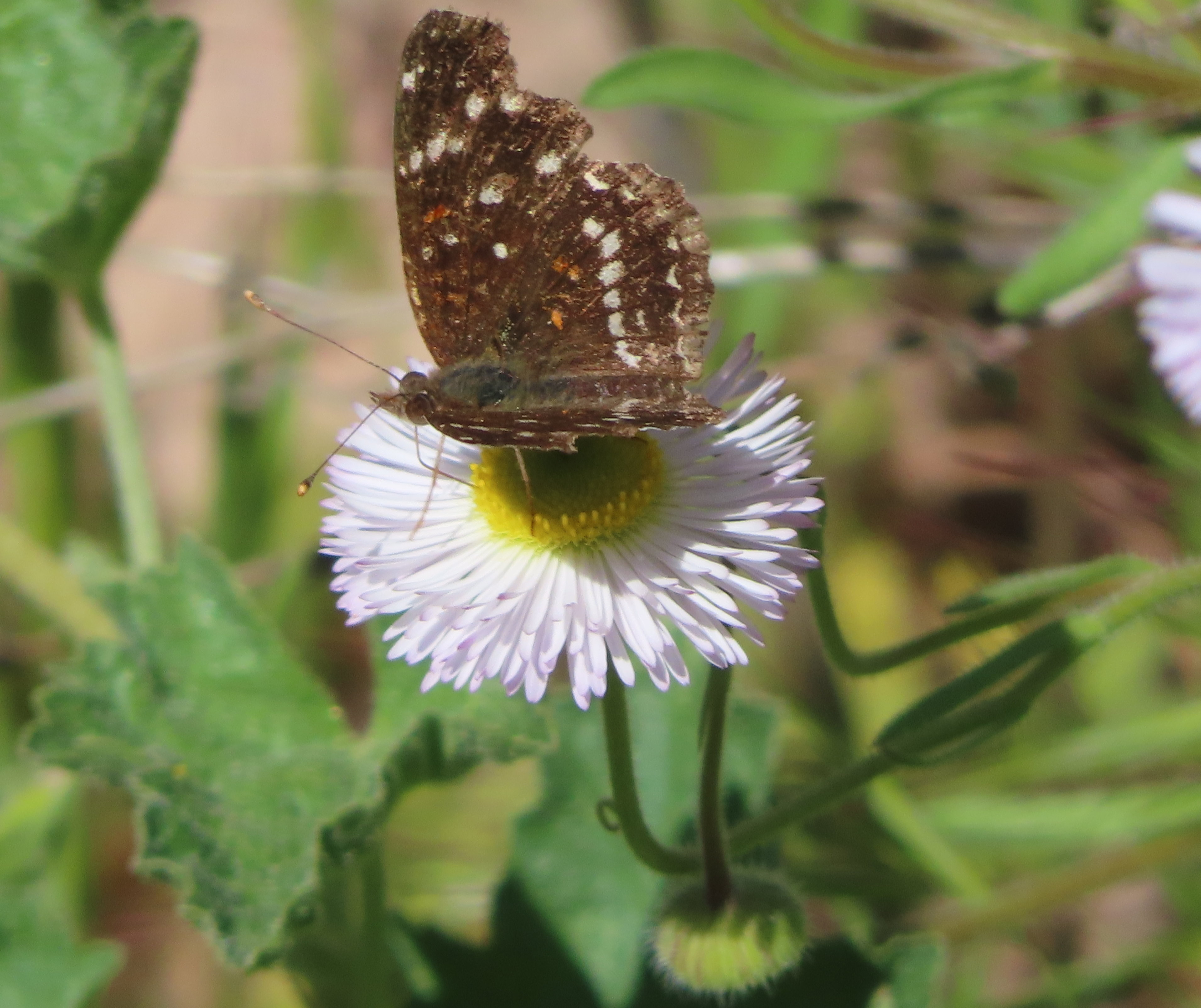 Texas crescent butterfly nectaring on fleabane