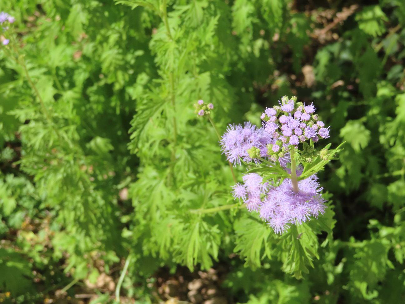 Gregg's mistflower plant in bloom