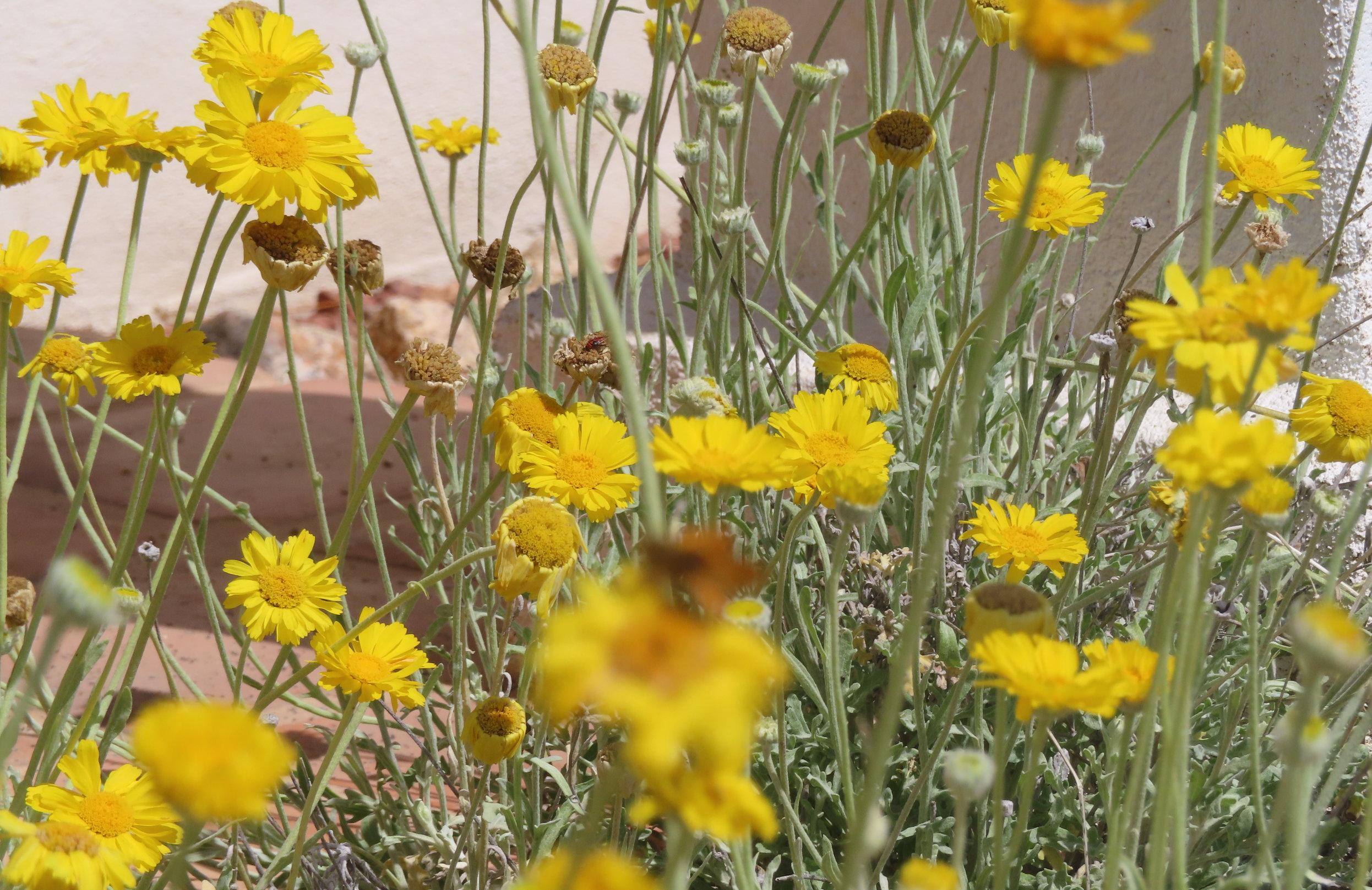 Desert marigold in bloom