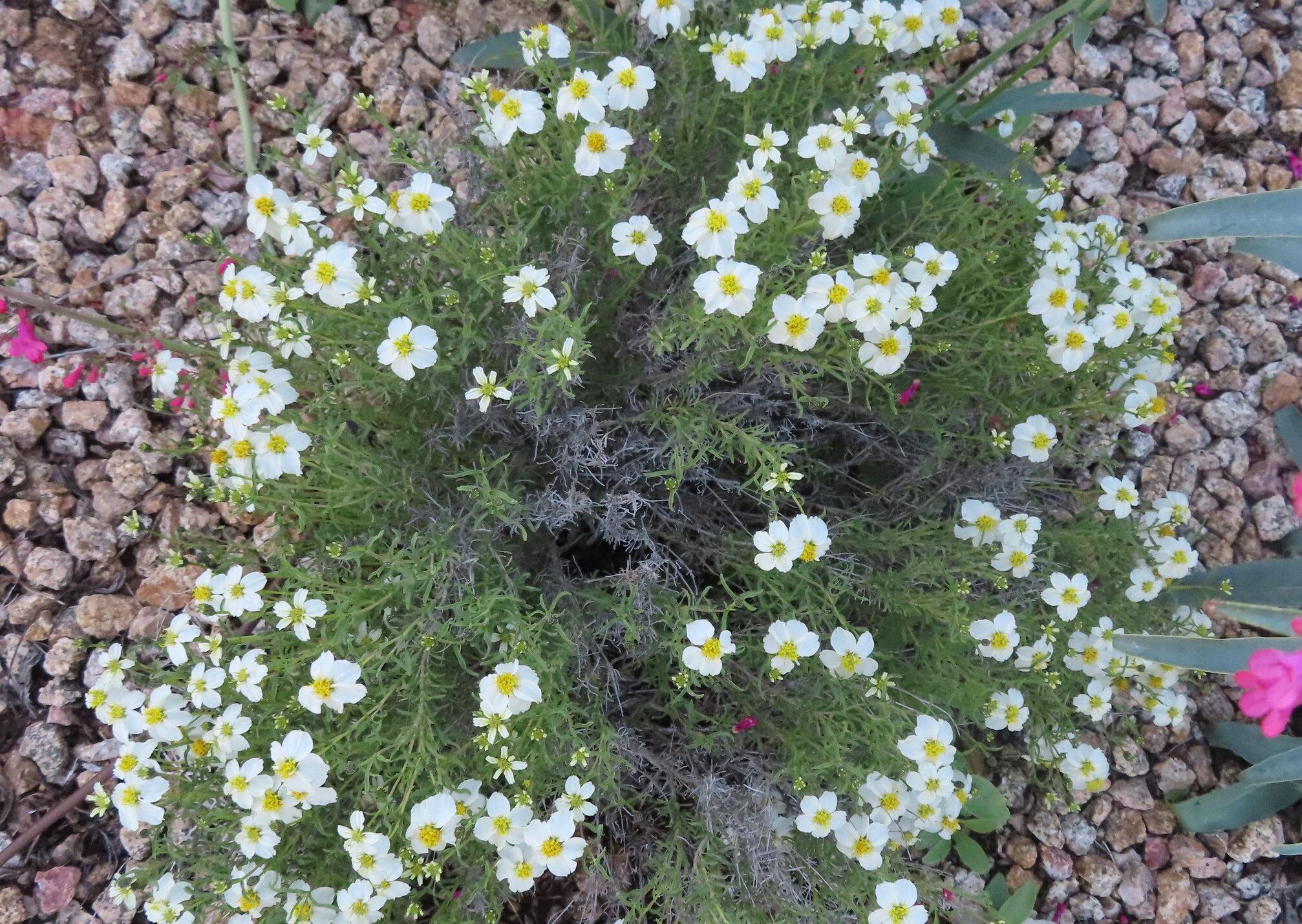 Desert Zinnia in bloom