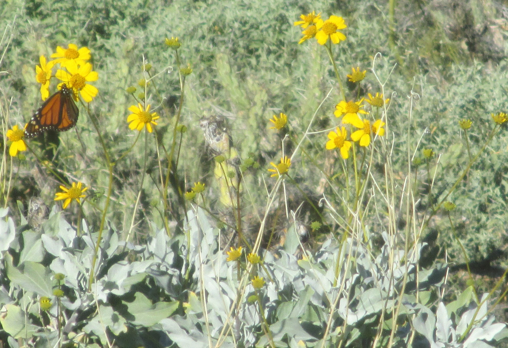 Monarch butterfly nectaring at a brittlebush