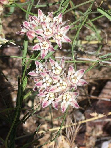 Hartweg's twinevine in flower