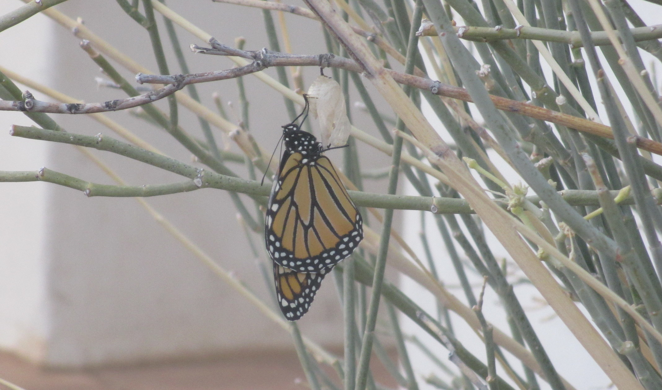 Monarch butterfly emerging from chrysalis on a Desert Milkweed plant