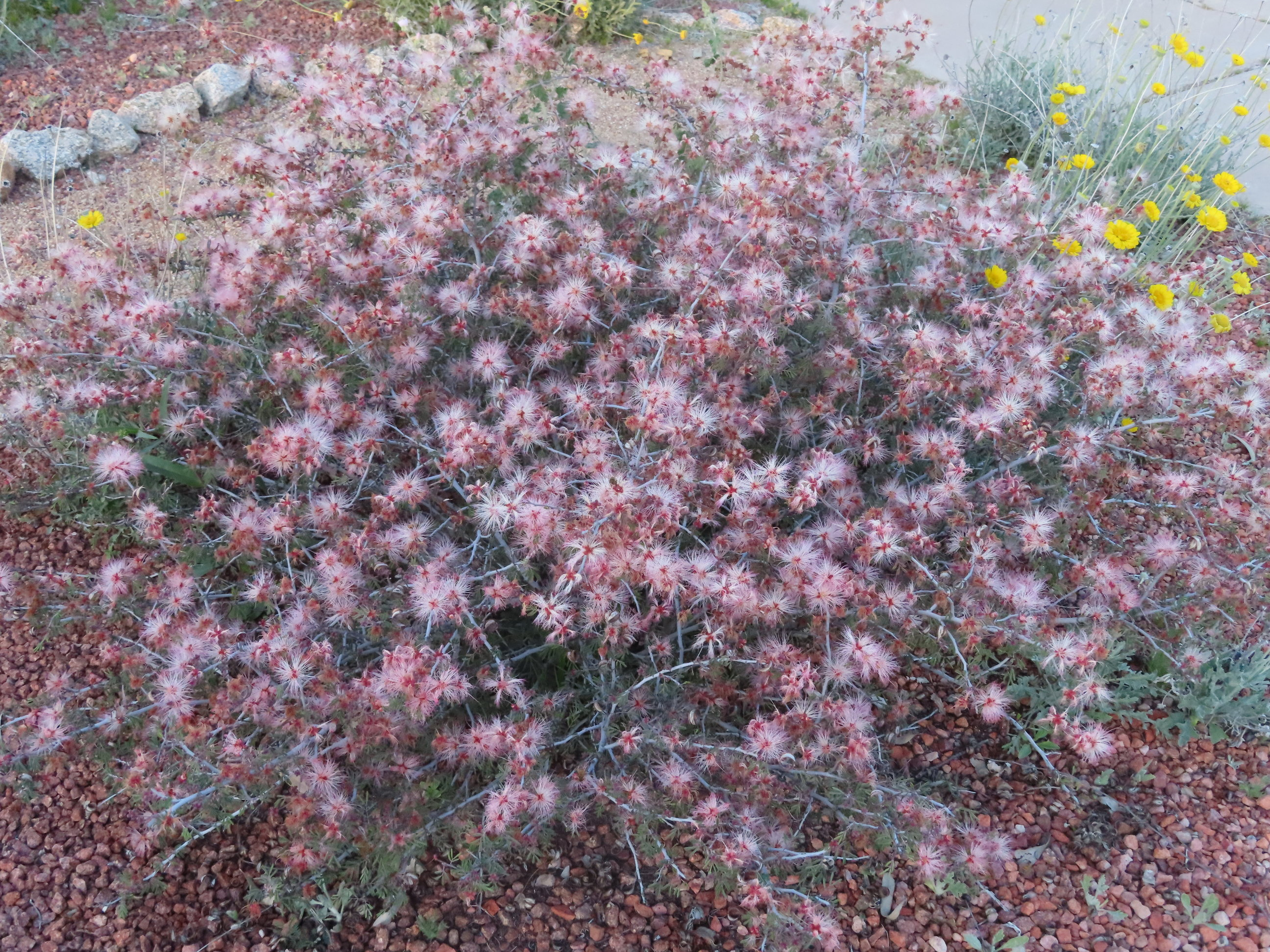 Pink fairy duster plant