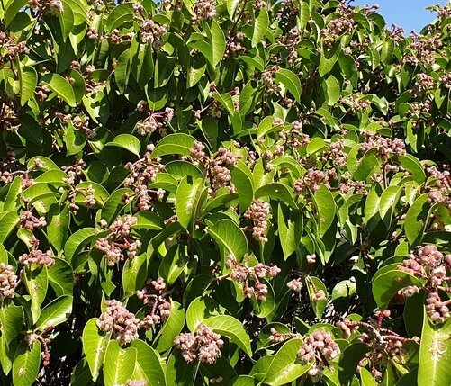 Sugar sumac bush
