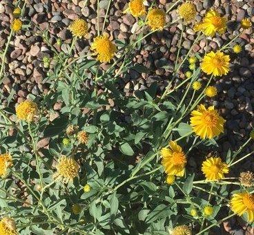 Cowpen daisy plant in flower