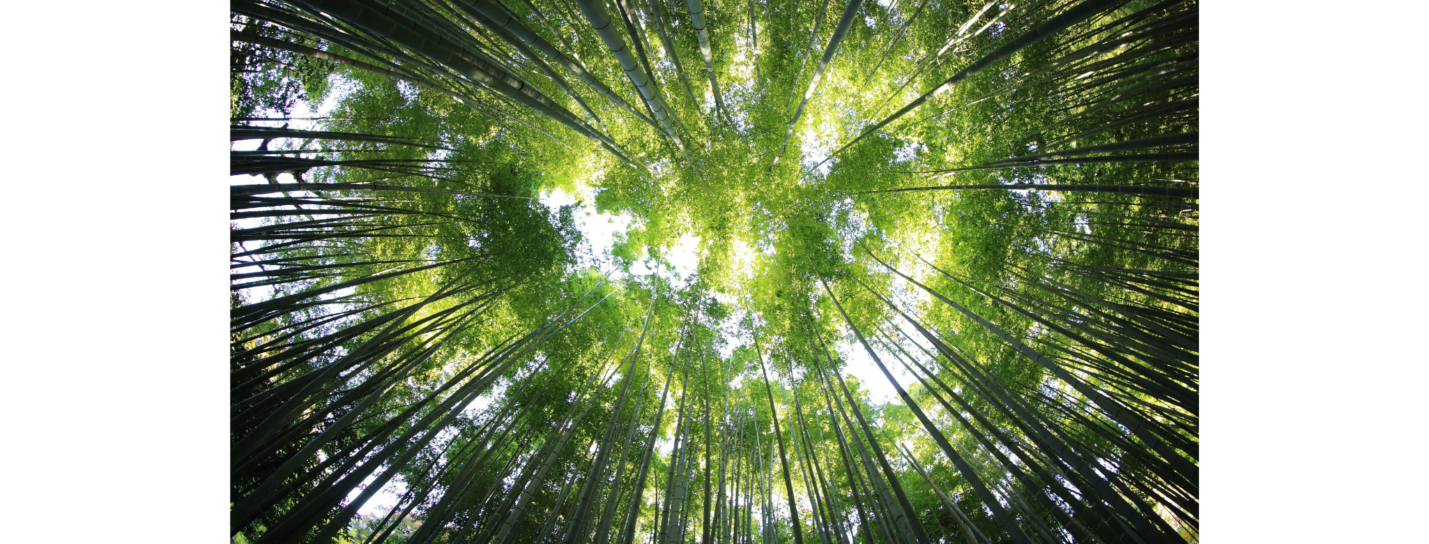 Perspective image looking up at the tops of trees in a forest