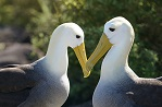Photograph of two albatrosses by Unsplash user Mac Gaither