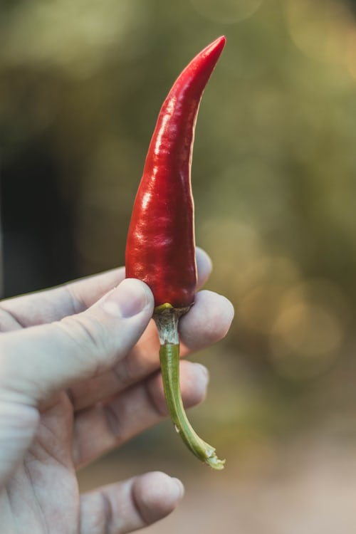 Hand holding red pepper