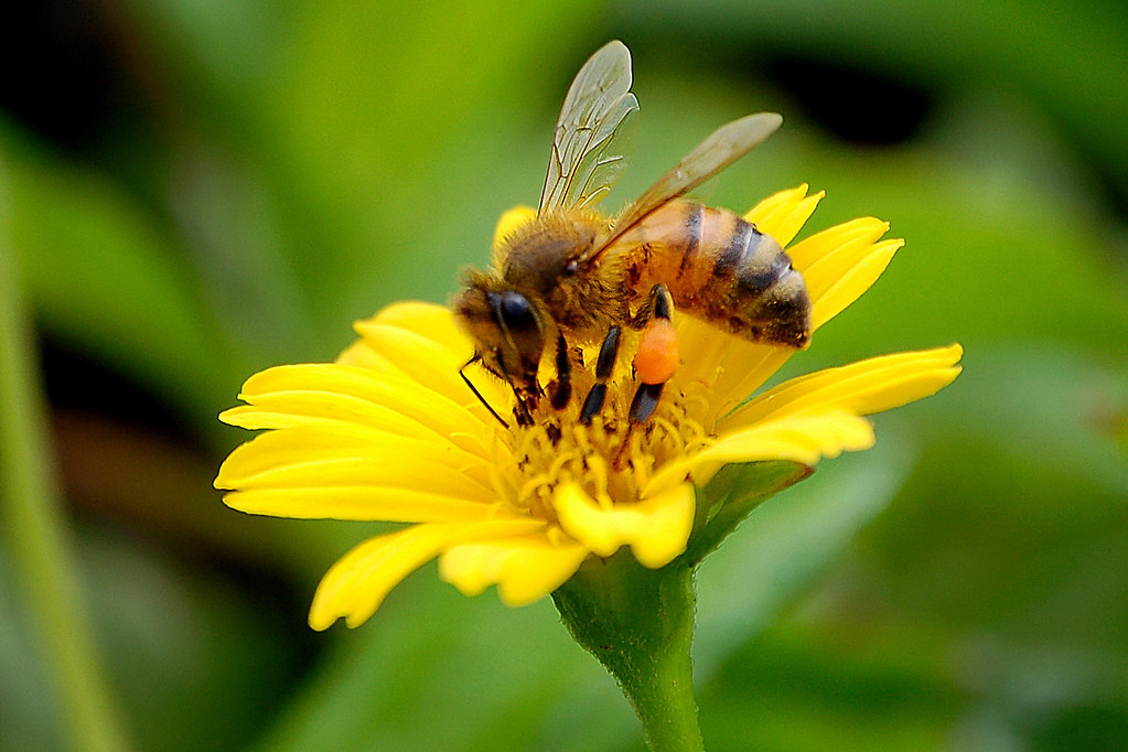 Picture of bee pollinating flower
