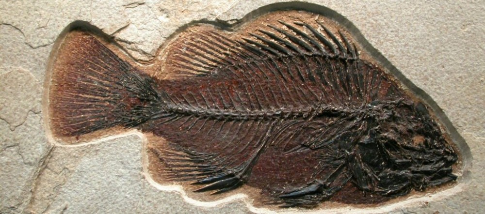 image of fish fossil