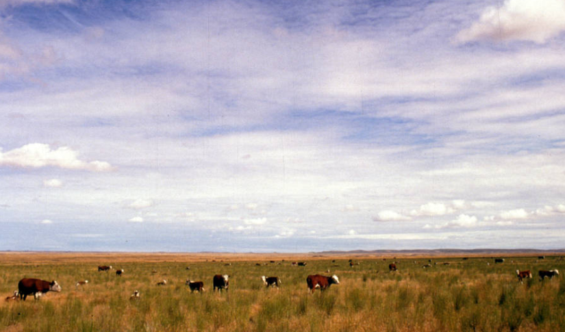 cows_in_pasture