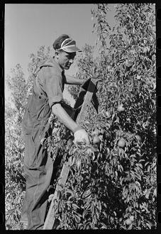 farmer_picking_pears